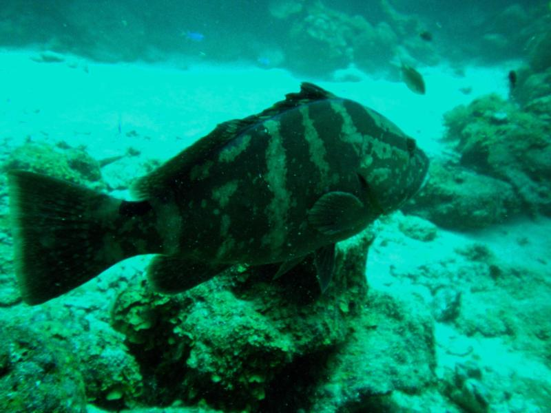 One huge Grouper (Roatan, Honduras)