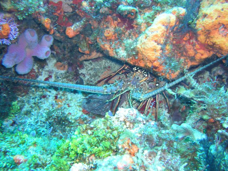 Spinny Lobster