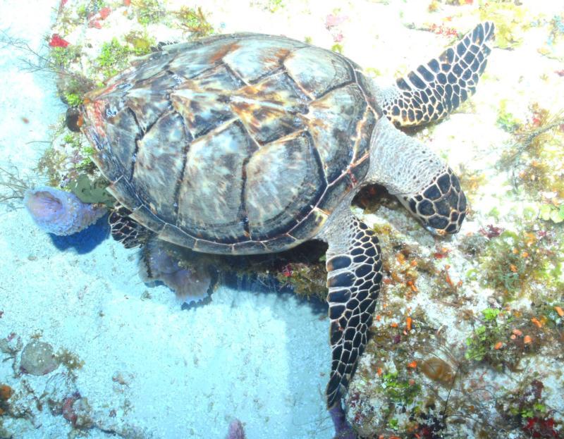 Sea Turtle Cozumel