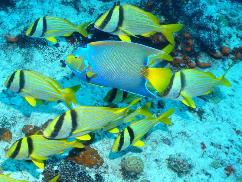Queen AngelFish, PorkFish Cozumel