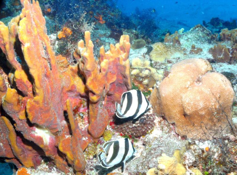 Butterfly fish Cozumel
