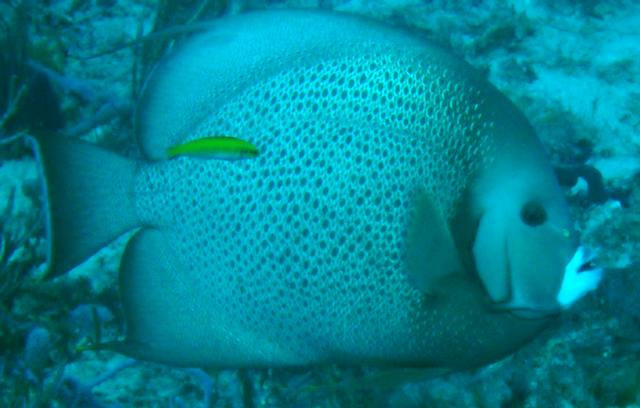 Gray Angelfish