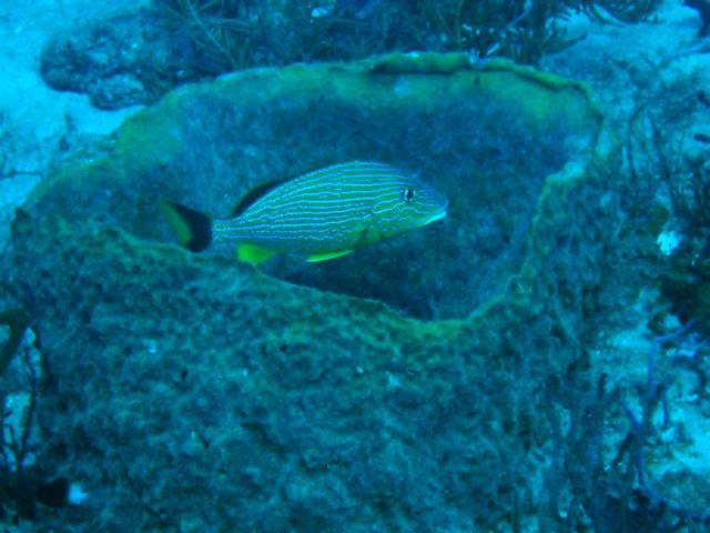 Striped Grunt in Barrel Sponge