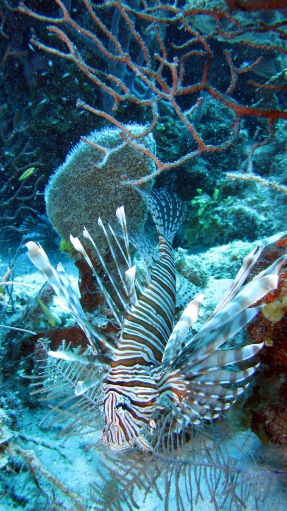 Nasty but beautiful - Belize Lionfish