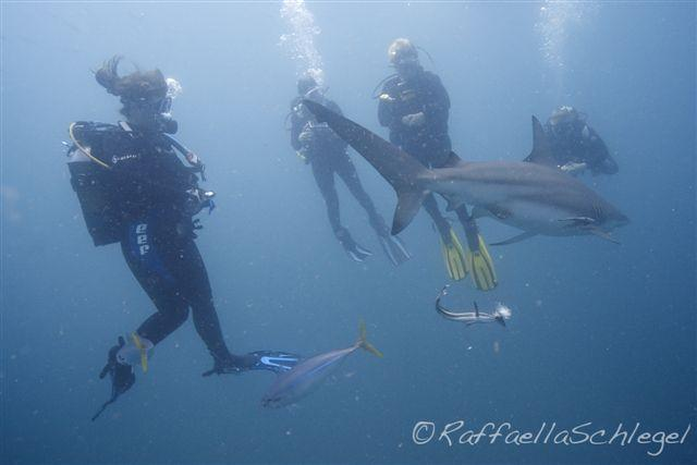 Shark Dive Aliwal Shoal South Africa