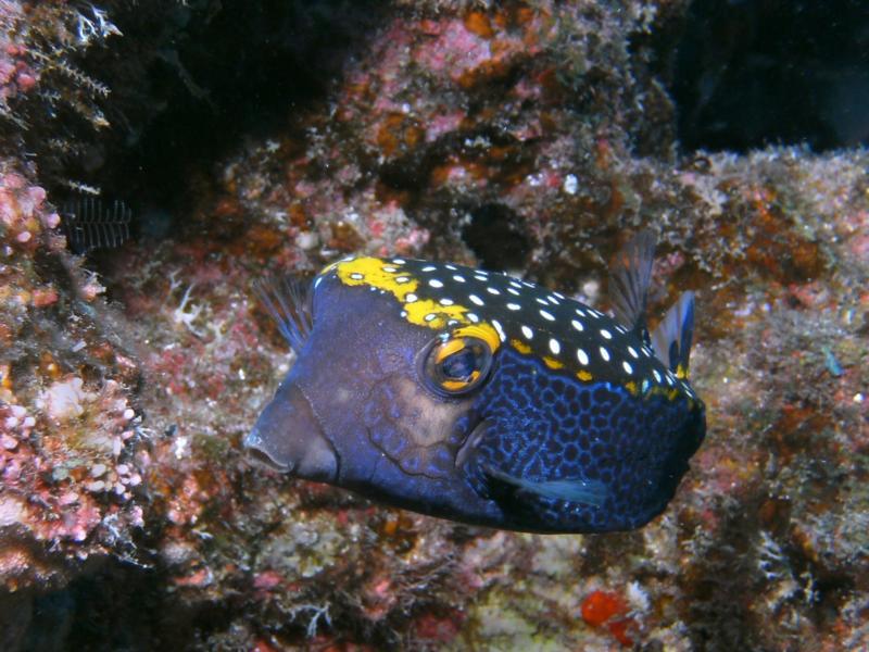 Spotted Boxfish Male