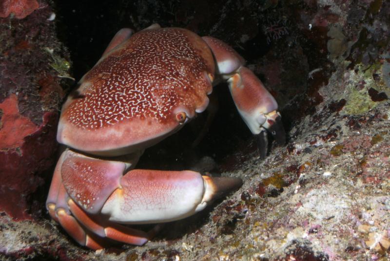 Crazy Fat Crab