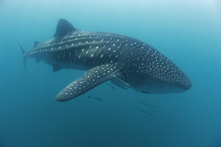 Whale Sharks in Donsol