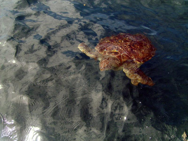 sea turtle  simiilan islands thailand