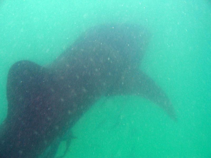 Whale Shark - Isla Mujeres (Cancun)