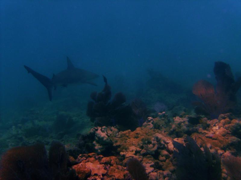 Rocky - Key west - Reef Shark