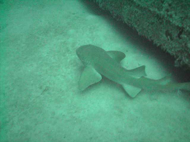 Itty Bitty shark in FL